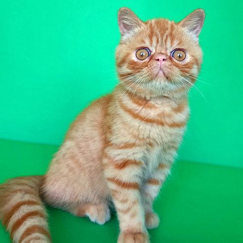 50 Caezar   Exotic shorthair male kitten