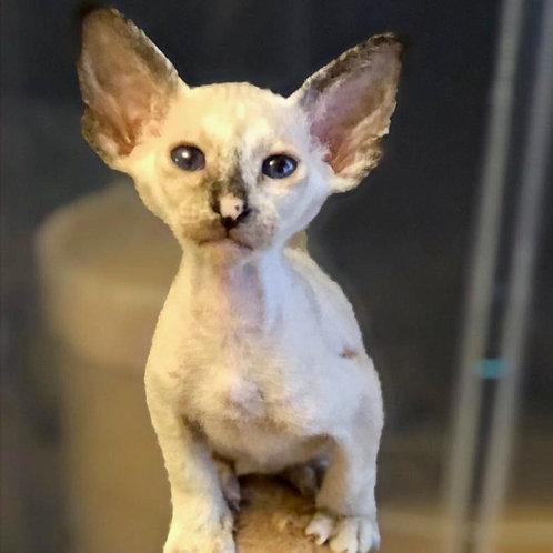 445 Alaina Oriental female kitten