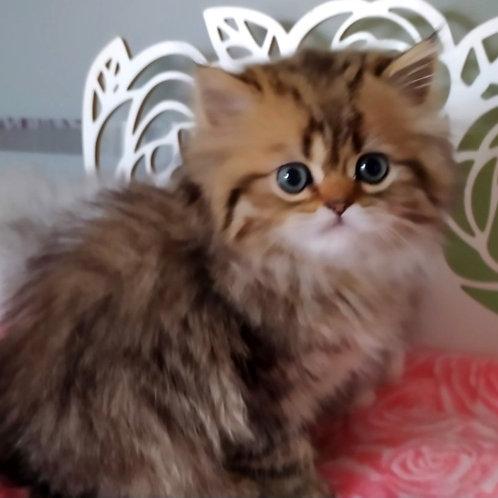 605 Uber Scottish straight longhair male kitten