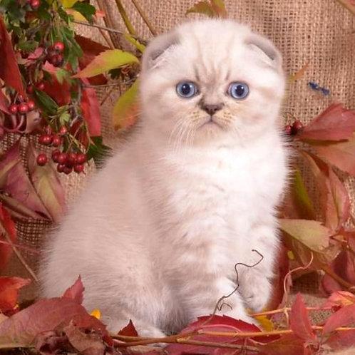550 Ulrich Scottish fold shorthair male kitten
