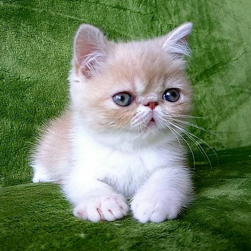 Qvinsi Exotic shorthair female kitten