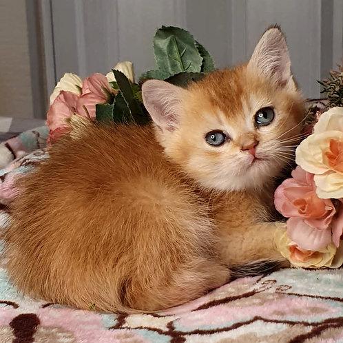 556 Solomon  British shorthair male kitten