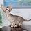 Thumbnail: 283 Nicole   Oriental female kitten