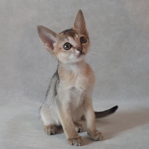90 Bekky   purebred Abyssinian female kitten