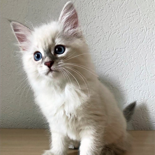 801 Candy Siberian female kitten