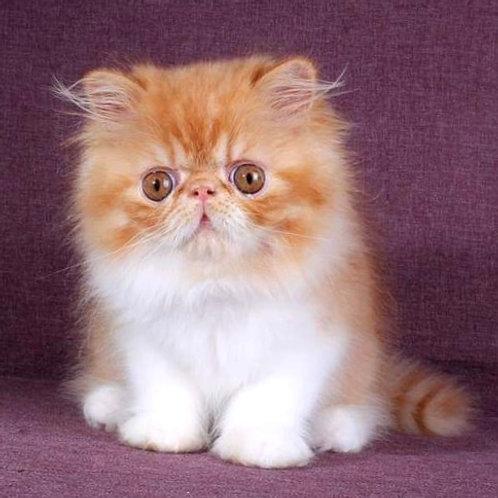 133 Leo   Persian  male kitten