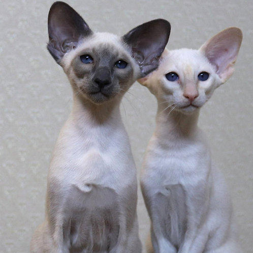 247 Inokentiy   Oriental male kitten