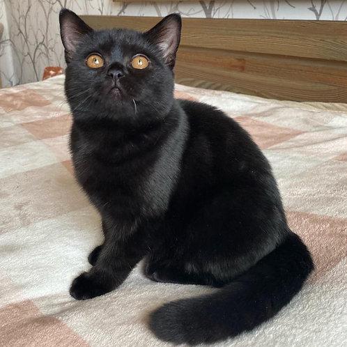 489 Aglaya    British shorthair  female kitten