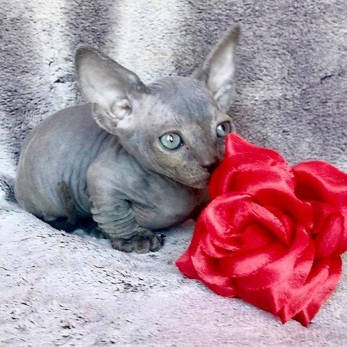 Loki male Bambino  kitten