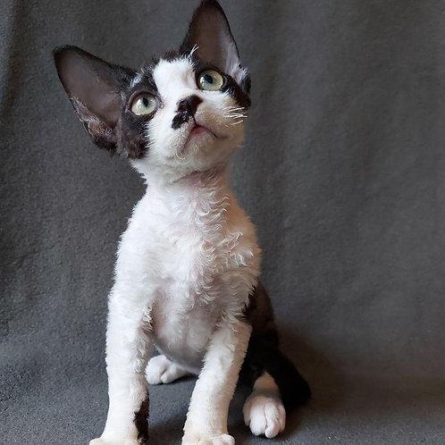 286 Rex male kitten Devon Rex