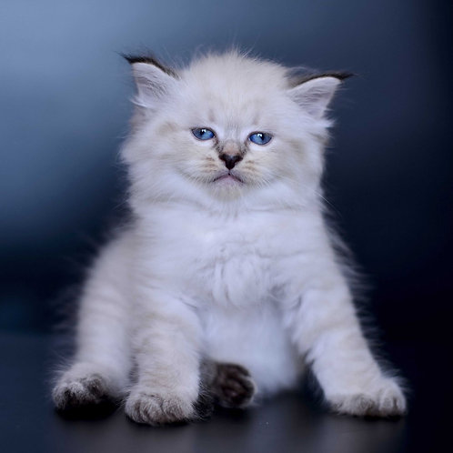 284 Amur    Siberian male kitten