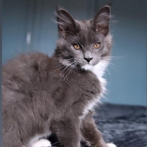 492 Niagara    Maine Coon female kitten