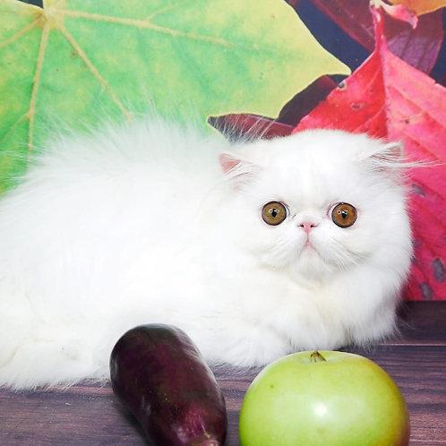 230 Lambada Persian  female kitten