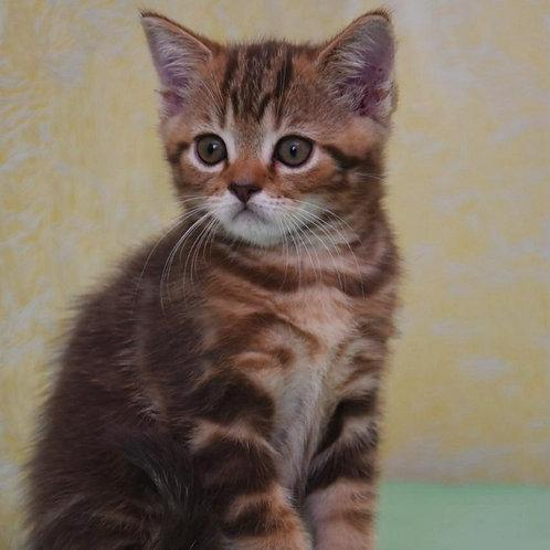 826 Martin  Scottish straight shorthair male kitten