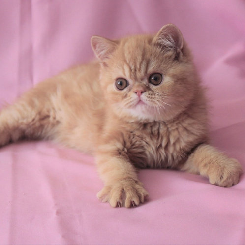 Jean Exotic shorthair male kitten