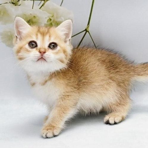 790 Evdokia  British shorthair female kitten