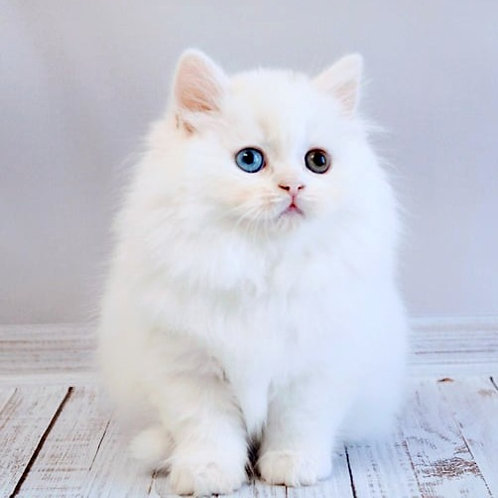 241 Helen   Scottish straight longhair female kitten