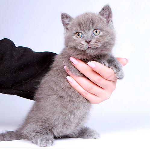 166 Kennedi   Munchkin shorthair male kitten