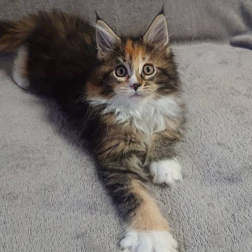 753 Hannah  Maine Coon female kitten