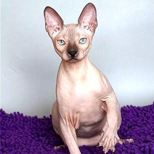 318 LeGrand   male Sphinx Donskoy kitten