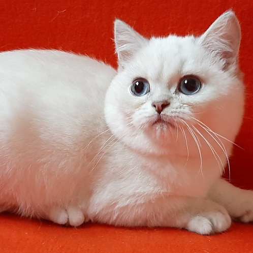45 Fokus    Scottish straight shorthair male kitten