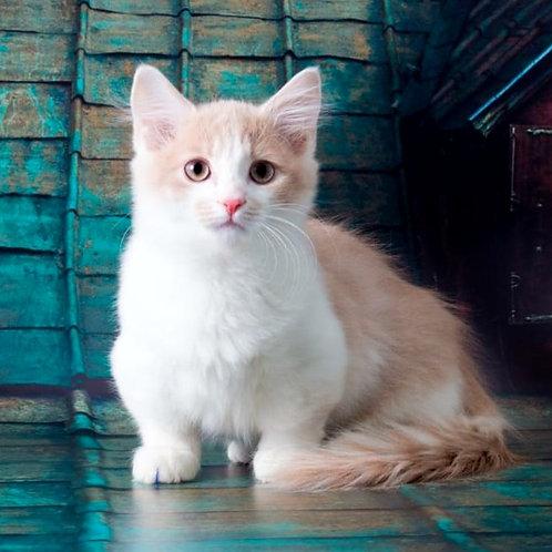 345 Calvados     Munchkin shorthair male kitten