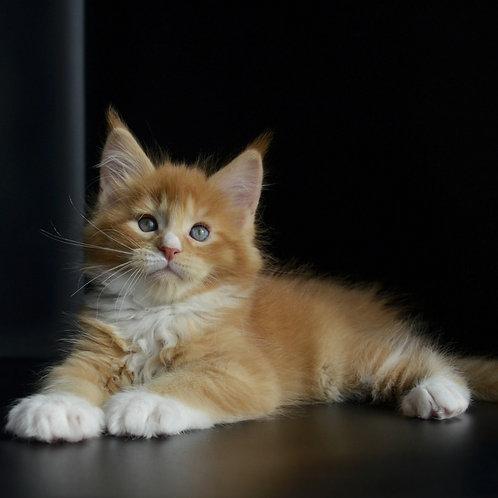 Ultra Lux Maine Coon male kitten