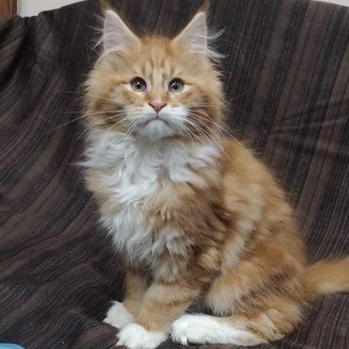Felix Maine Coon male kitten