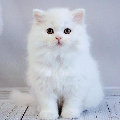 239 Hulk   Scottish straight longhair male kitten