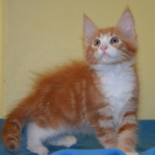 279 Gucci  Maine Coon male kitten