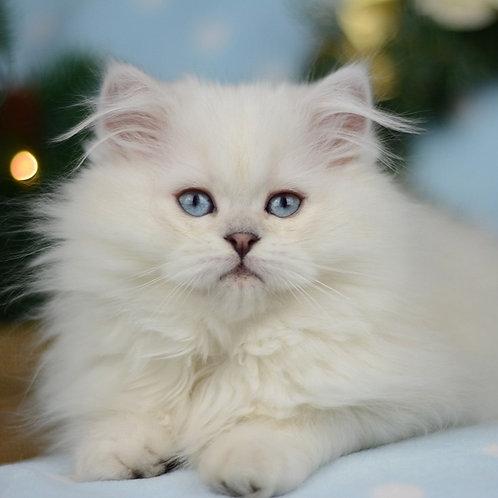 57 Quentin    British longhair male kitten