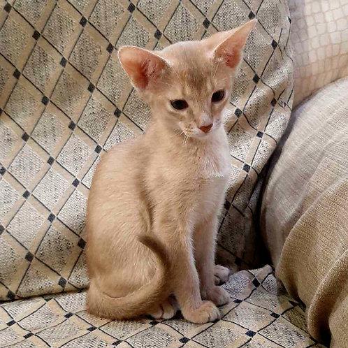 273 Kris   purebred Abyssinian male kitten