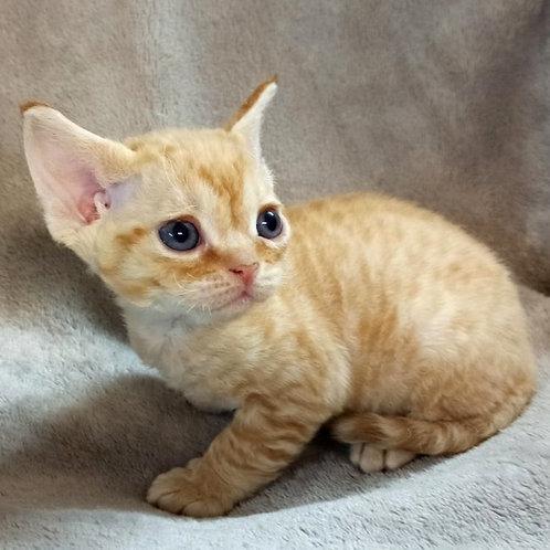 524 Donna female kitten Devon Rex