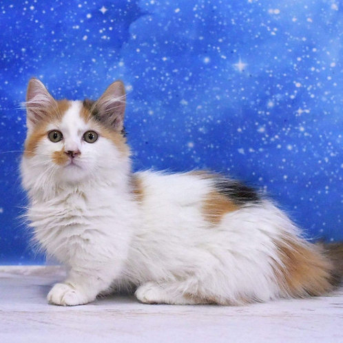 401 Hilda  Munchkin longhair female kitten