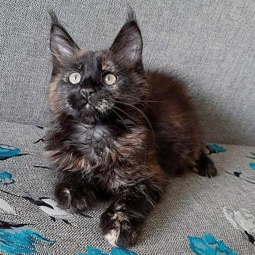 295 Shanty  Maine Coon female kitten