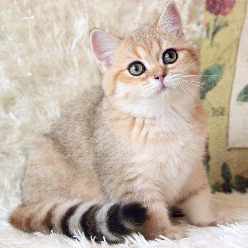 489 Potap   British shorthair male kitten