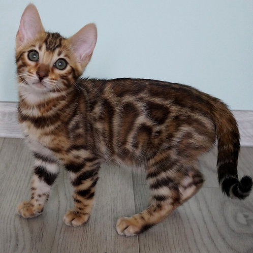 149 Diana   purebred Bengal female kitten