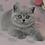 Thumbnail: 697 Yanina  British shorthair female kitten