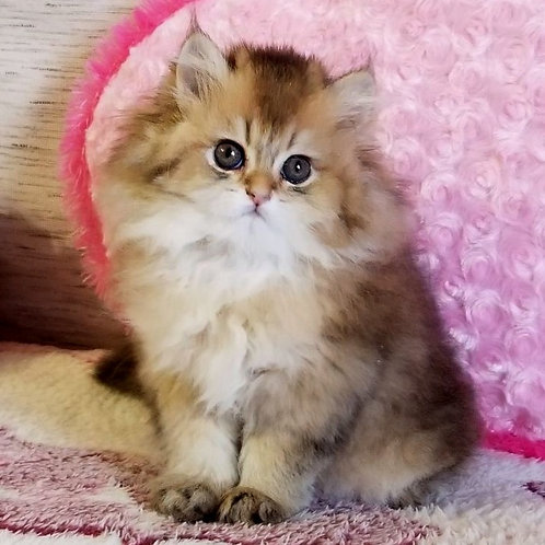 187 Armani    British longhair male kitten