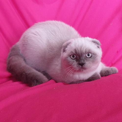 455 Matilda      Scottish fold shorthair female kitten