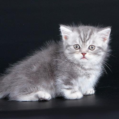 678 Radick     Munchkin shorthair male kitten