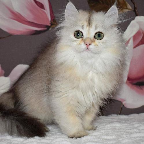 671 Irene   Scottish straight longhair female kitten
