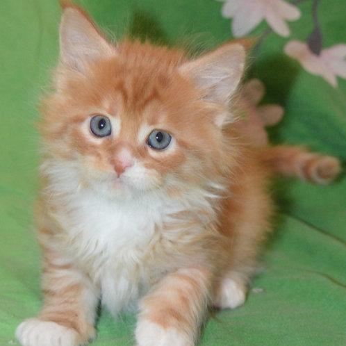 247 Barry    Maine Coon male kitten