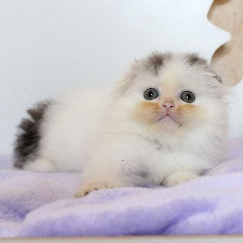 428 Asher      Scottish fold longhair male kitten