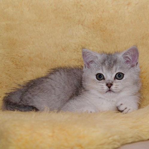 Chokey British shorthair male kitten