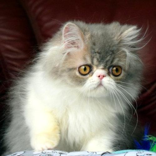 192 Quasar   Persian  male kitten