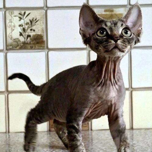 429 Helen   female Devon Rex kitten