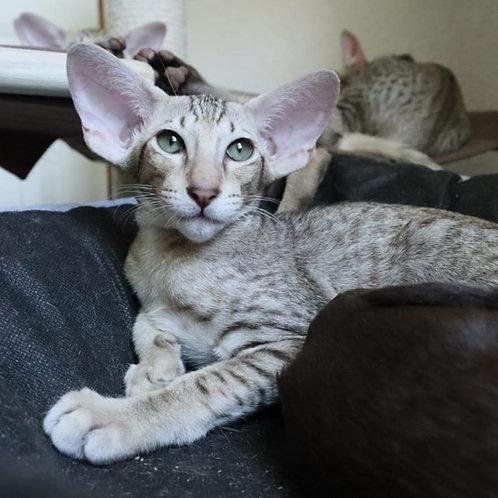 511  Forest   Oriental male kitten