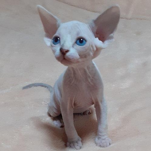146 Origami  female Sphinx kitten