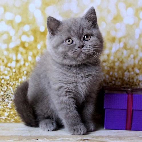 243 Sharly  British shorthair male kitten